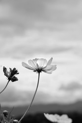 Black and white image Cosmos flower isolated on white background. Blossom flowers blooming beautifully in the field.