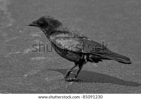Black and white image of a Common Raven (Corvus corax) walking on a beach against dark blurred background