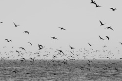 Black and white image of a flock of Cape Cormorants taking off from the sea surface