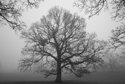 Black and White image of a Silhouette Tree on a Misty Winter Morning, County Durham, England, UK.