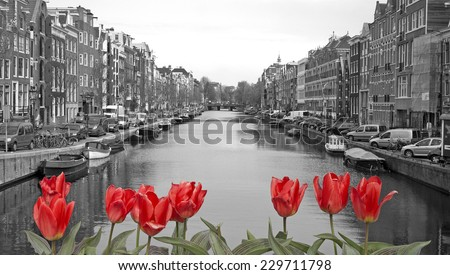 black and white image of an amsterdam canal with red tulips #229711798
