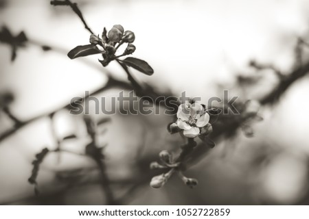 Black and white image of an apple tree flower blossom surrounded by smaller buds at Lafayette Park in Detroit Michigan. Blurred branches and empty space in background. Matte with mild sepia effect.