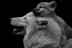 Black and white image of Arctic wolf with adorable pup (Canis lupus arctos) isolated on black background. The young wolf cub embraces mother.