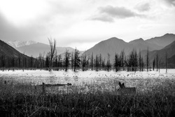 Black and white image of dead trees in a lake surrounded by mountains
