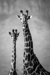 Black and white image of giraffe pair, South Africa