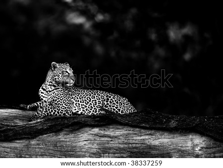 Black and white image of leopard in habitat