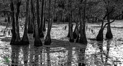 Black and white image of swamp land trees.