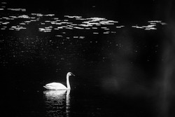 Black and white image of trumpeter swan.