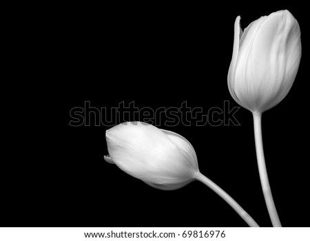 Black and White Image of White Tulips