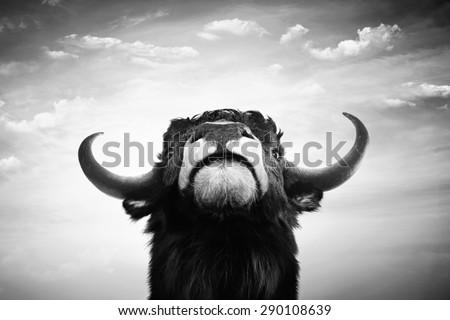 Black and white imponent bull portrait