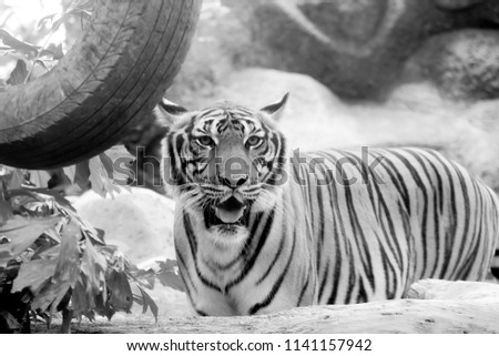 Black and white INDOCHINESE TIGER (Panthera tigris corbetti) in the zoo at Thailand #1141157942