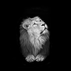 Black and white isolated portrait of a lying and looking up young Asian lion. King of beasts with splendid mane. Wild beauty of the biggest cat. The most dangerous and mighty predator of the world.