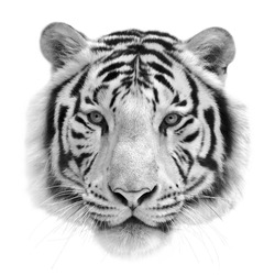 Black and white isolated portrait of a white bengal tiger. Mask of the biggest cat. Wild beauty of the most dangerous and mighty beast