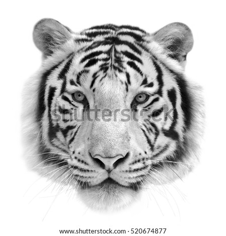 42f76ec08 Black and white isolated portrait of a white bengal tiger. Mask of the  biggest cat