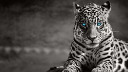 Black and white jaguar ,blue eyes