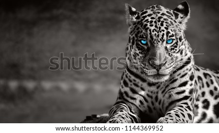 Stock Photo Black and white jaguar ,blue eyes