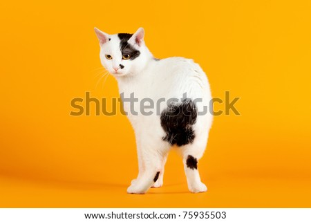 Black and white japanese bobtail on orange background - stock photo