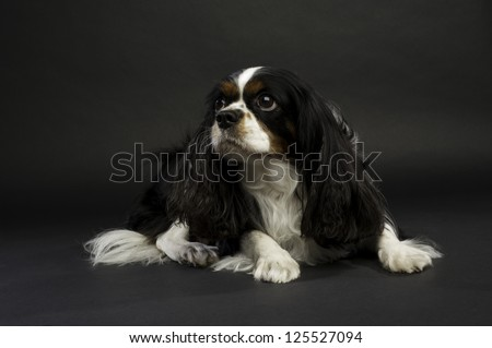 Black and White King Charles Spaniel Dog Laid Down on a Black Background
