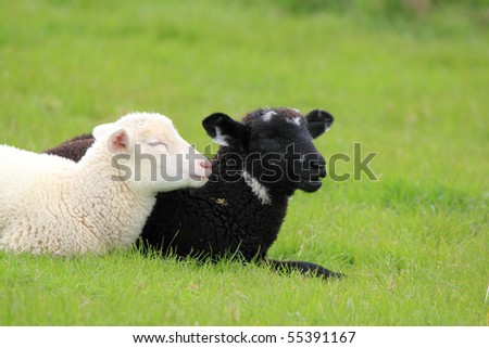 black and white lamb laying on a meadow