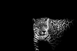 black and white leopard on a black background.
