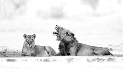 black and white lions together