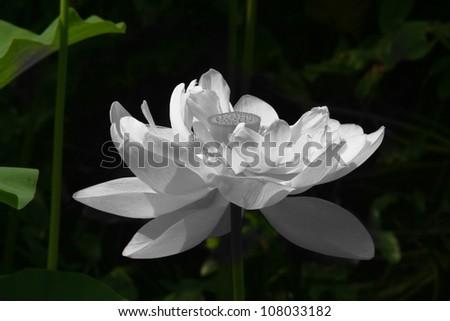 Black and White Lotus