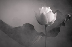 Black and White Lotus Flowers in  pond