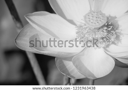 Black and white lotus pictures. Black and white lilies