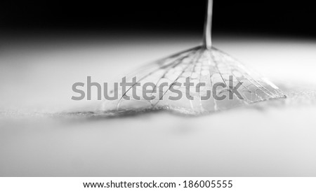 Black and white, macro, abstract composition with water drops on dandelion seeds