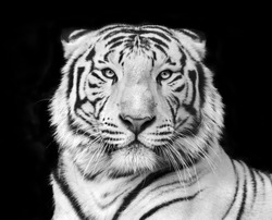 Black and white macro face portrait of white bengal tiger. The most dangerous beast shows his calm greatness. Wild beauty of a severe big cat.