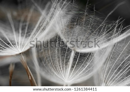 Black and white macro image of dandelion umbrella seed heads with detailed lace-like patterns.