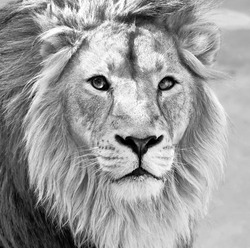 Black and white macro portrait of an Asian lion in high key. King of beasts. Wild beauty of the biggest cat. The most dangerous and mighty predator of the world.