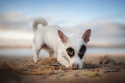 Black and white male mixed breed dog playing with sand on the beach against the backdrop of sunset clouds