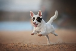 Black and white male mixed breed dog running along the sandy beach against the backdrop of a fresh summer landscape