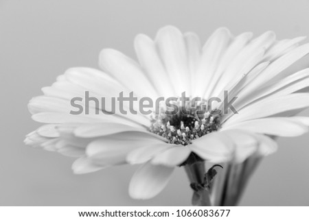 Stock Photo Black and white marigold flower close-up