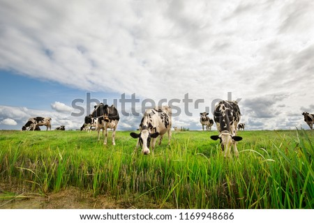 black and white milk cows graze on pasture