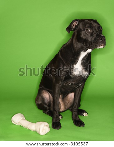 Black and white mixed breed dog sitting with big rawhide bone.
