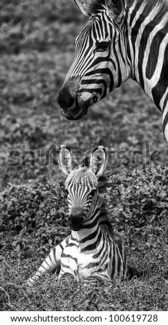 Black and White Mother and Baby Zebra Serengeti Tanzania Africa