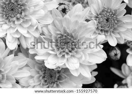 Black And White Mums Flowers Beautiful Floral Background Ez Canvas