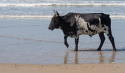 Black and white Nguni cow walks on the sand at Second Beach, Port St Johns on the wild coast in Transkei, South Africa. The local cows come down to the beach during the day to cool off.