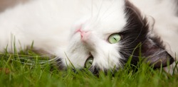 Black and white Norwegian Forest Cat lying in field of grass