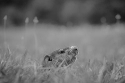 Black and white of a juvenile Groundhog (Marmota monax) cautiously peeking from its hole. Raleigh, North Carolina.