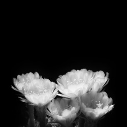 Black and white of cactus flowers with space for background.