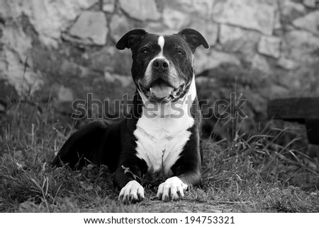 Black and white old dog