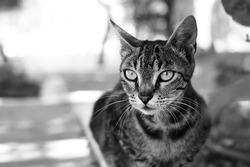 Black and white or monochrome outdoor cat portrait. Shallow DOF