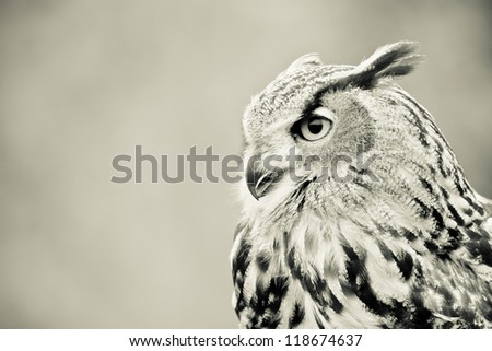 black and white owl portrait - stock photo