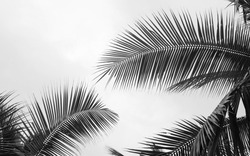 black and white palm coconut leaves on white background