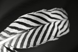 Black and white pattern of Silver pheasant wing feathers