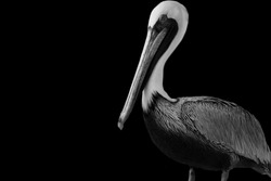 Black And White Pelicans Bird Standing On The Black Background