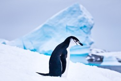 black and white penguin  on the white snow in Antarctica